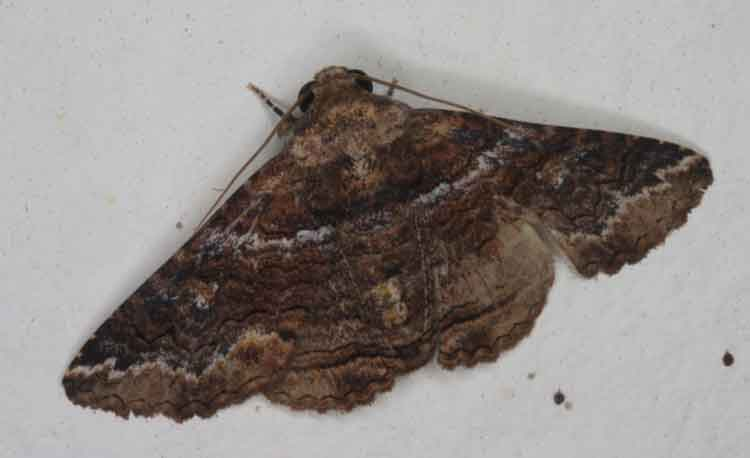 Anisoneura sp 2