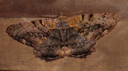 Anisoneura sp