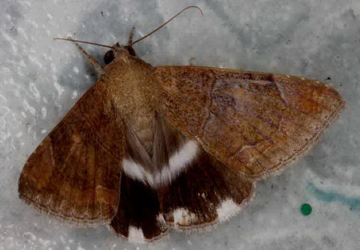 Artena sp 1