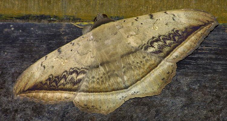 Blasticorhinus varius