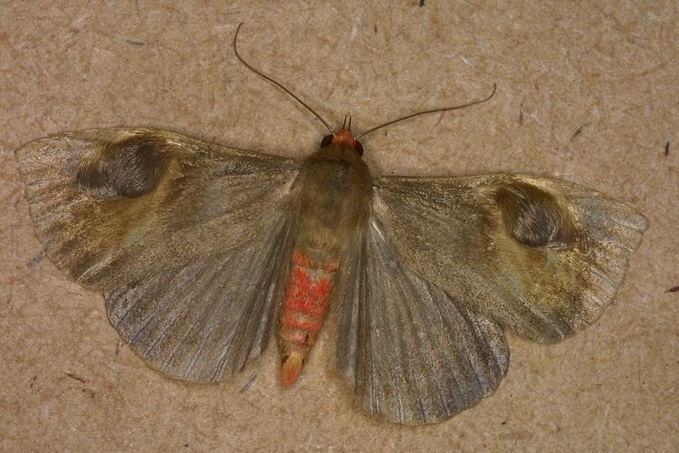 Calesia dasypterus 1