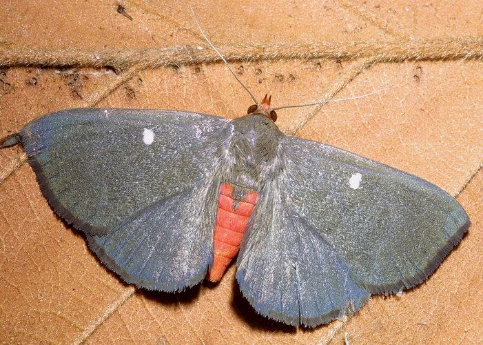 Calesia dasypterus