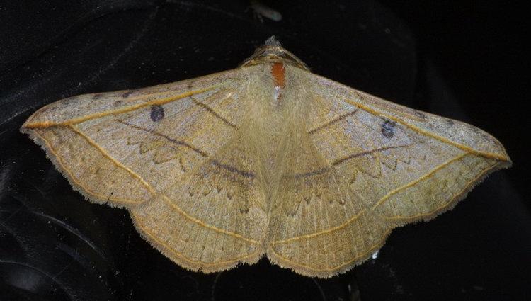 Entomogramma fautrix 1