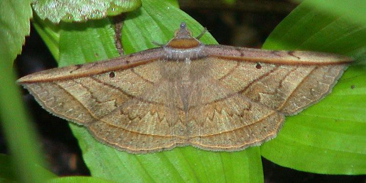 Entomogramma fautrix