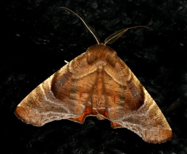 Episparina tortuosalis