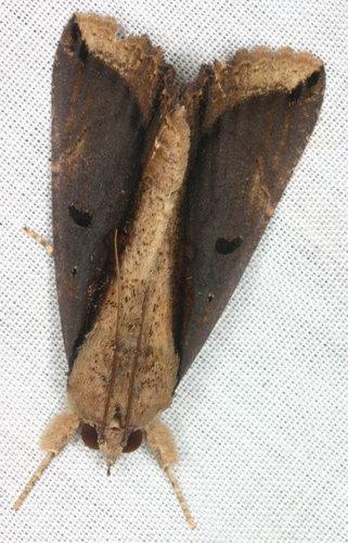 Ercheia cyllaria 4
