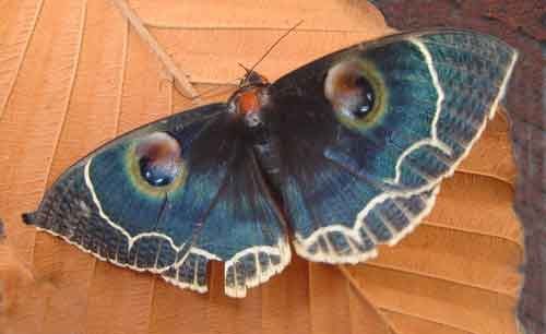 Erebus albicincta