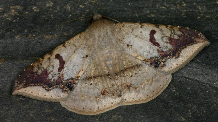Ericeia eriophora 2