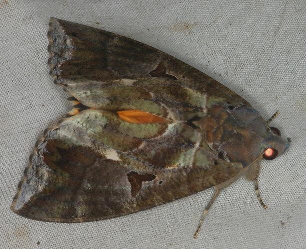 Eudocima falonia