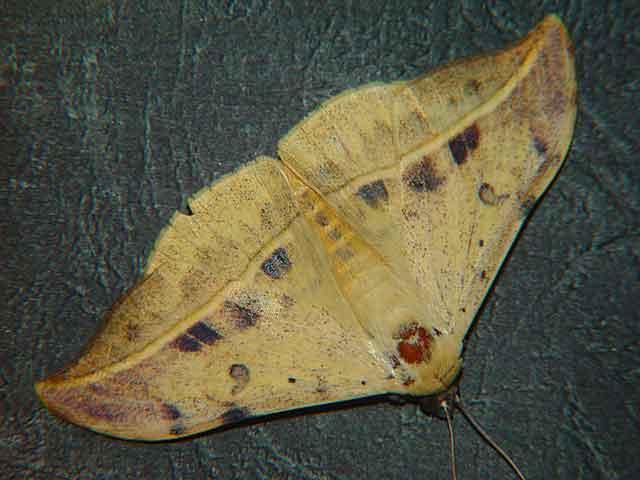 Hamodes aurantiaca