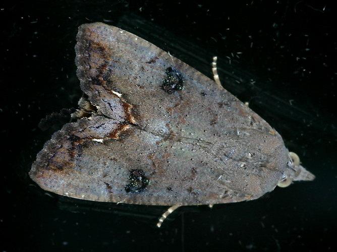 Hypocala deflorata 2