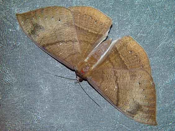 Lygniodes endoleucus