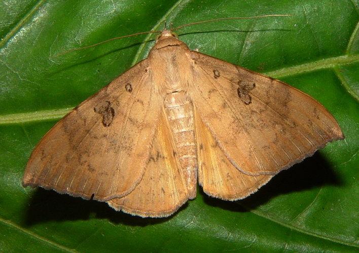 Oxyodes scrobiculata