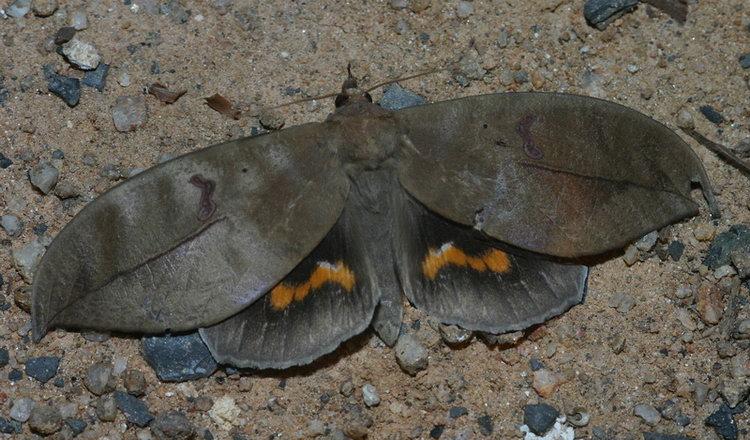 Phyllodes eyndhovii