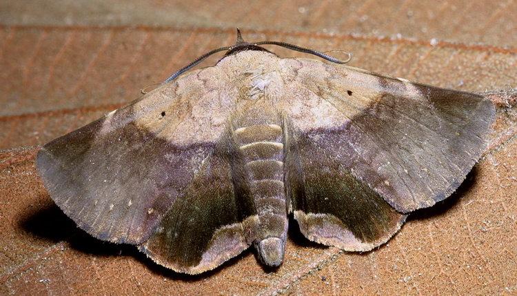 Psimada quadripennis
