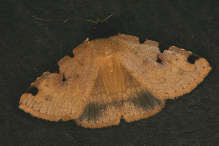 Rema costimacula