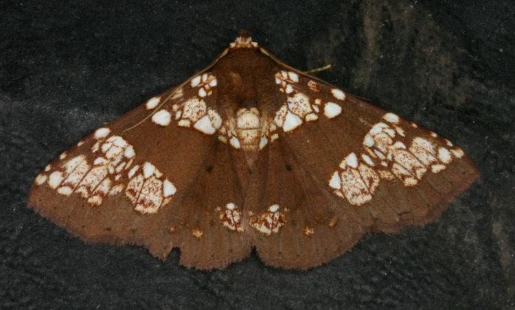 Saroba pustulifera