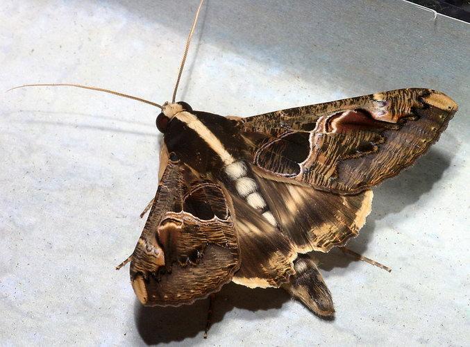 Sphingomorpha chlorea