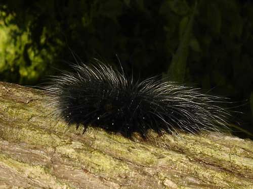 Eupterotidae Apona