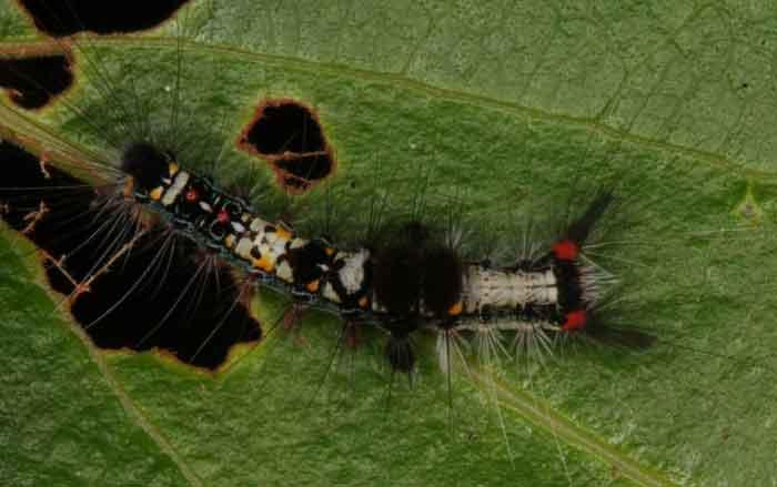 Olene mendosa Lymantriidae