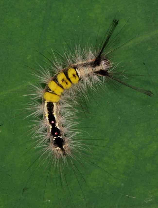 Clethrogyna turbata, Larva Lymantriidae