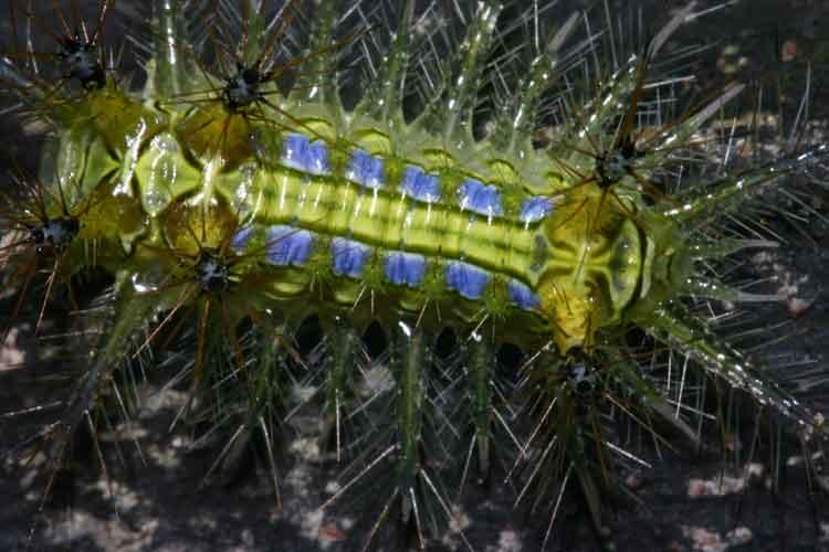 Parasa lepida Limacodidae