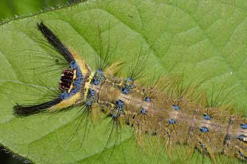 Lasiocampidae 1