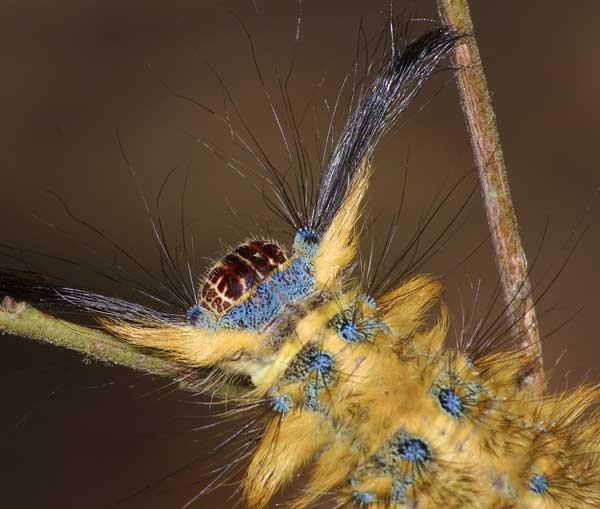 Lasiocampidae 2