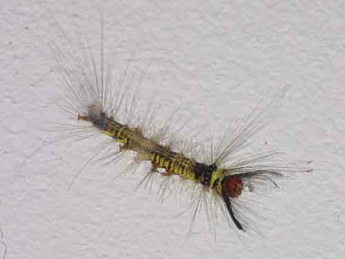 Lasiocampidae 3