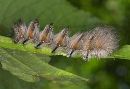Lasiocampidae 4