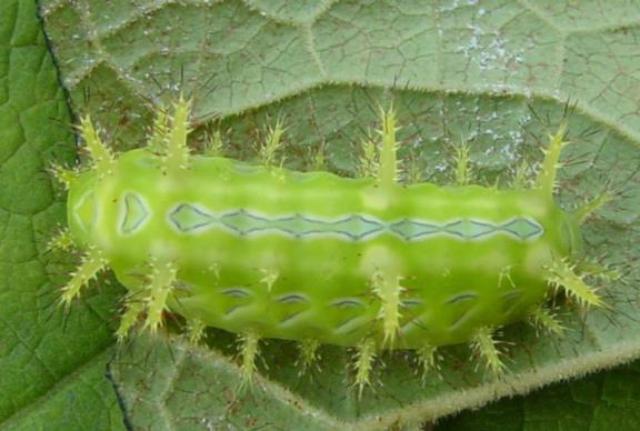 Limacodidae