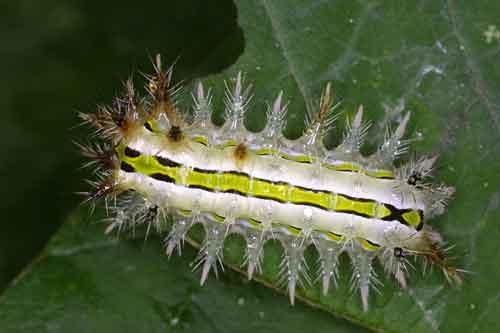 Limacodidae 1