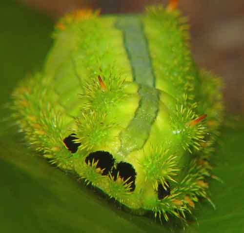 Limacodidae 2