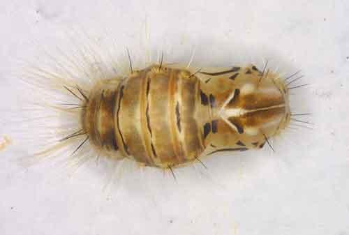 Lymantria mathura