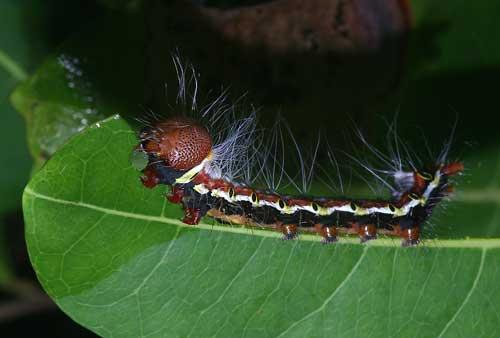 Nolid, of the Chleophorinae Carea sp