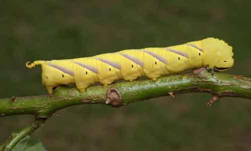Sphingidae Acherontia lachesis