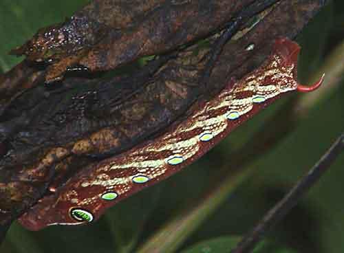 Sphingidae