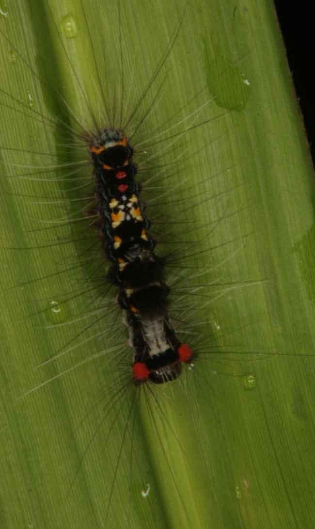 olene-mendosa-lymantriidae