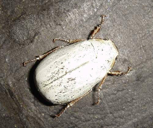 Cyphochilus sp