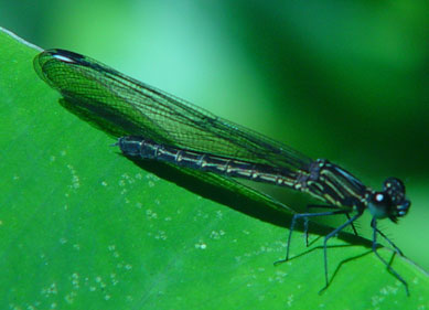 Aristocypha fenestrella  f