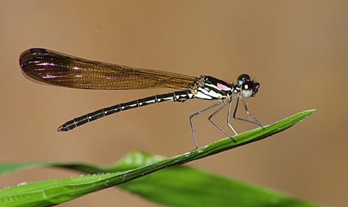Heliocypha biforata  1