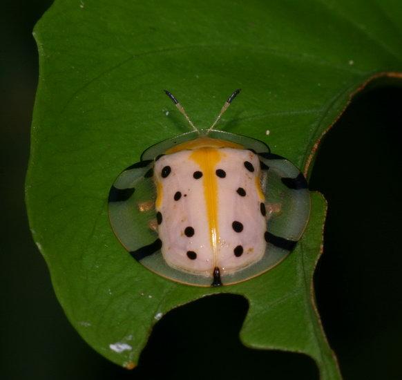 Aspidomorpha sp. Chrysomelidae