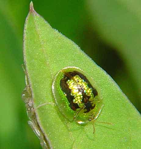 Cassida circumdata