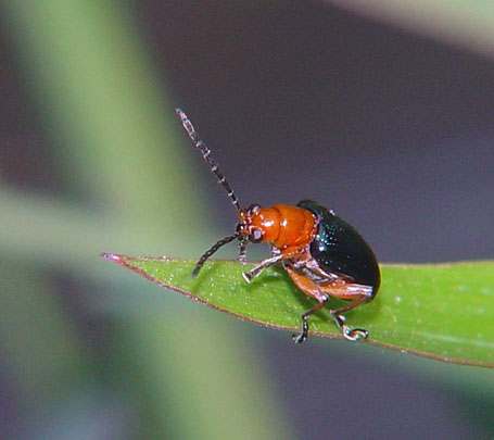 Criocerinae Lema sp