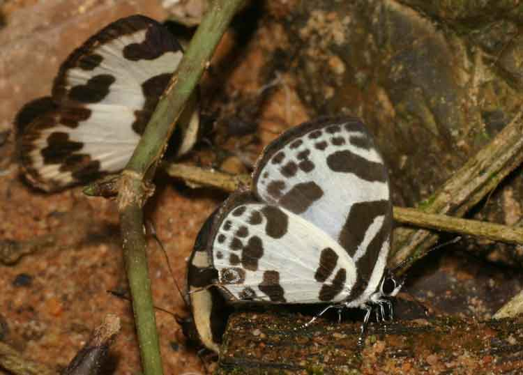 Banded Blue and Elbowed Pierrot
