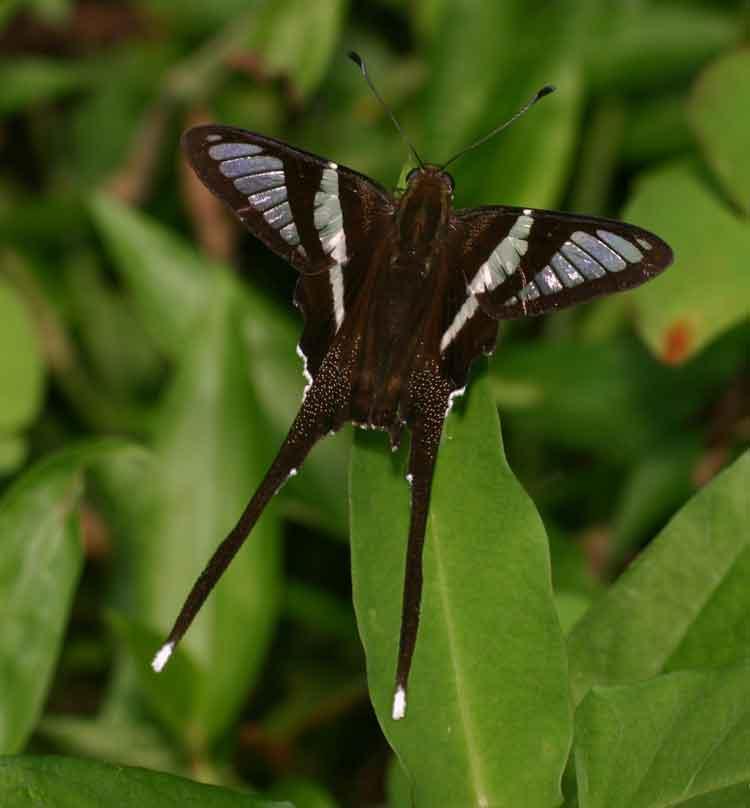 White Dragontail