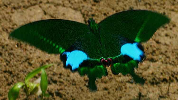 Paris Peacock in flight