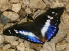 Indian Purple Emperor