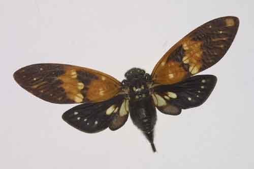 Ambragaeana ambra