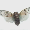 known as the 'ghost cicada' for its eerie call